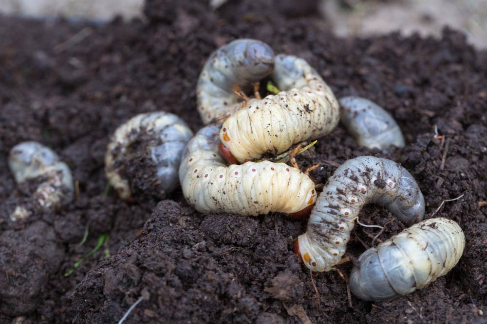 Grubs in soil
