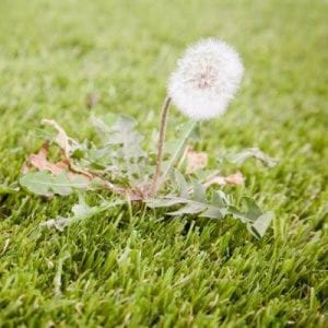 Summer lawn care here in Wayne, PA includes broadleaf weed control to combat dandelions and other broadleaf weeds.
