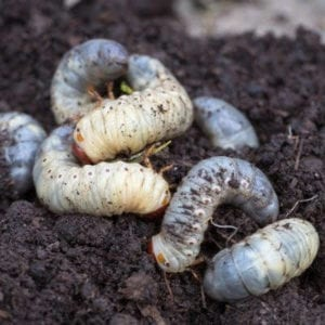 White grubs, or lawn grubs, are some of the worst lawn pests affecting West Chester, PA lawns.