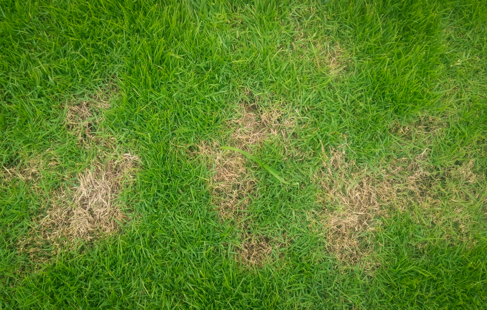 brown patches of grass