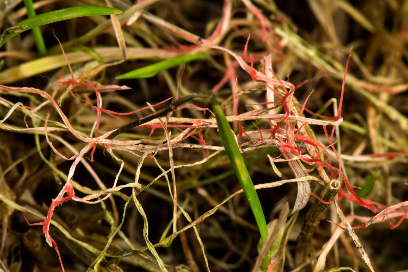 Red thread, Laetisaria fuciformis, damage and stromata from the disease on lawn grass