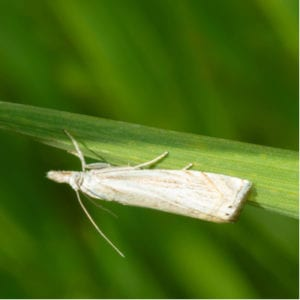 Sod webworms are some of the worst lawn pests to have here in Newtown Square, PA.