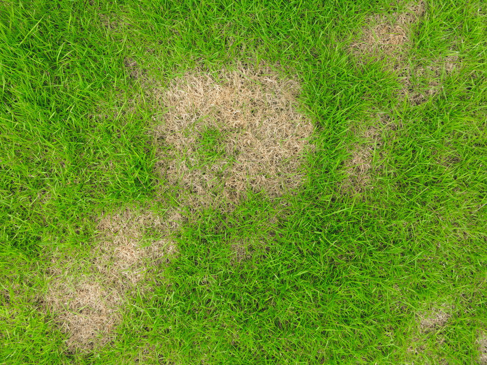 Summer Patch Grass