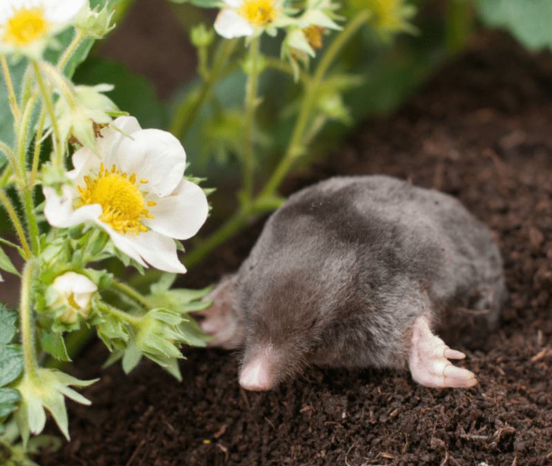 Moles are some of the worst lawn pests to have here in Malvern, PA.