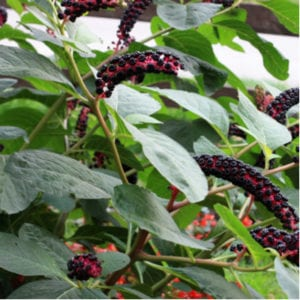 One of our 2020 lawn care tips is to be proactive with your weed control in order to protect your Pennsylvania lawn from invasive weeds, like this pokeweed.