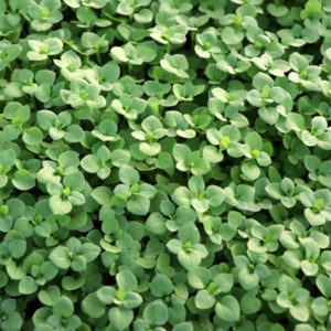Spring lawn care preparation in Pennsylvania can help you get ahead of the chickweed and other weeds in your lawn.