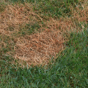 lawn damage from grubs