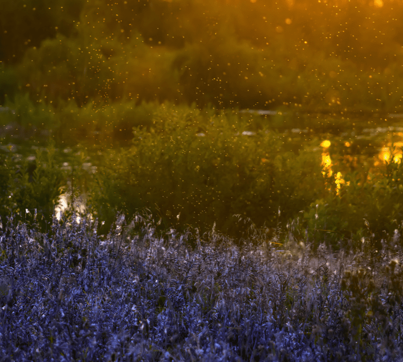 mosquito swarm at sunset over purple flowers